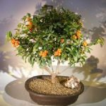 Flowering Pyracantha Bonsai Tree (pyracantha 'mohave')