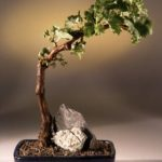 Wine Grape Bonsai Bonsai Tree Tempranillo – Red