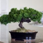 Monterey – Single Trunk-Preserved Bonsai Tree (Preserved – Not a living tree)