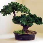 Monterey – Double Trunk-Preserved Bonsai Tree (Preserved – Not a living tree)