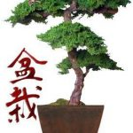 Monterey Preserved Bonsai Tree Kage Style – 6 Feet Tall (Preserved – Not a living tree)